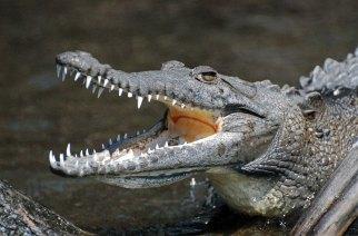 crocodile.san.blas.mex_dusbuba